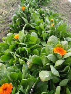 [写真]農園北側の花畑にキンセンカが咲いている様子