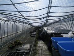 [写真]雪の重みで屋根が潰れてしまった育苗ハウス1号(ハウスの内側の様子)