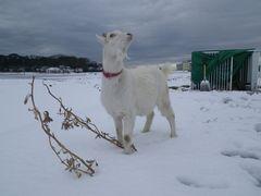 [写真]ヤギのアランが、降り積もった雪の上に立ち、空を見上げているところ