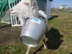 [写真]首からバケツをぶら下げて小屋からでてきたヤギのアラン