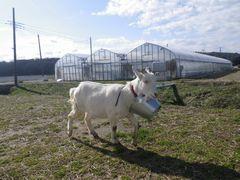 [写真]バケツをぶら下げたまま散歩するヤギのアラン