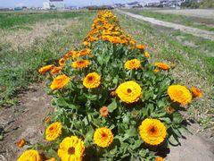 [写真]キンセンカが満開の三郎畑(花畑)