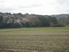 [写真]ところどころに山桜が咲いている三舟山の様子