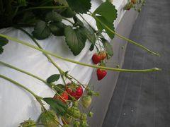 [写真]いちごの苗からランナーが2本伸びている様子