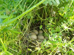 [写真]農園北側の草むらに作られたキジの巣の様子(6つの卵が寄り添うように入っている)