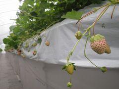 [写真]ゴールデンウィークが終わり、白い実だけが残ったいちごハウスの様子