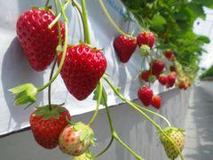 [写真]紅ほっぺの赤い実と青い実がぶら下がっている様子