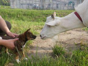 [写真]仔犬のモカに、初めましてのキスをするヤギのアラン