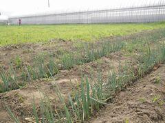 [写真]ネギを植えた三郎畑の様子