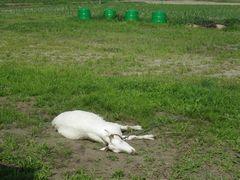 [写真]アランが足を延ばしてのびのびと爆睡している様子(離れた所からのショット)