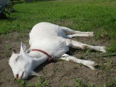 [写真]アランが足を延ばしてのびのびと爆睡している様子(少し近づいた所からのショット)