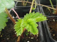 [写真]子苗の新葉の先に葉水がでている様子