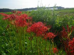 [写真]農園近くの畦道に咲いた彼岸花の様子
