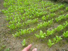 [写真]花畑に植える予定のキンセンカの苗