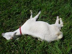 [写真]大好きな草の上でゴロ寝を楽しむアランの様子