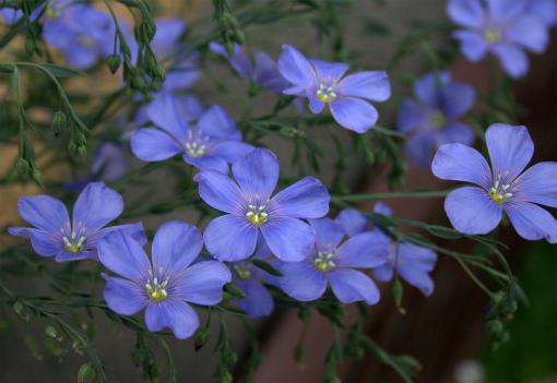 s-462-亜麻の花2