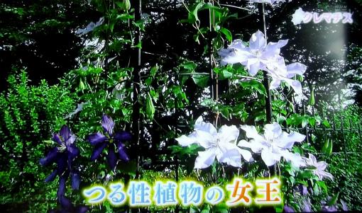 s-468-3つる性植物の女王