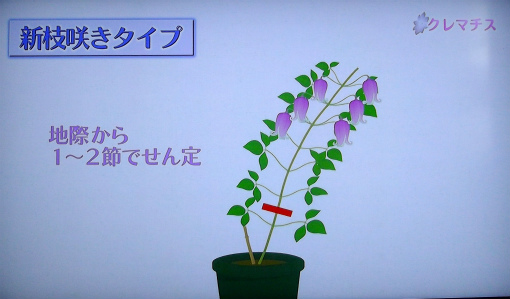 s-468-5新枝咲きの剪定