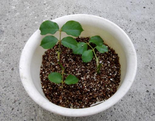 s-477-4植木鉢で挿木