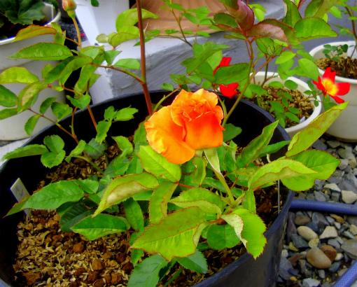 s-479-6オレンジ色の挿し木