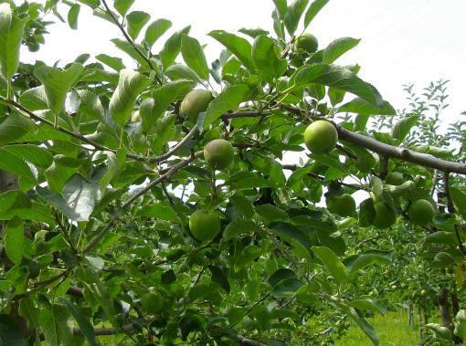 s-481-4林檎の木