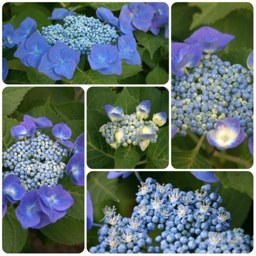 s-483-青い紫陽花
