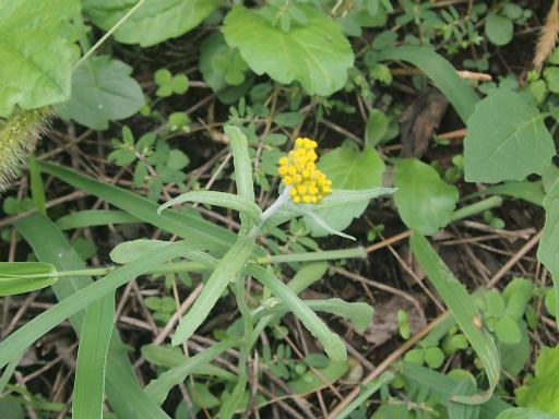 20140830・トトロ植物09・ハハコグサ