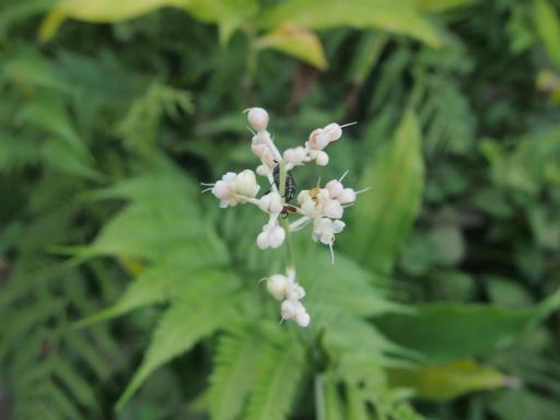 20140830・トトロ植物18・ヤブミョウガ