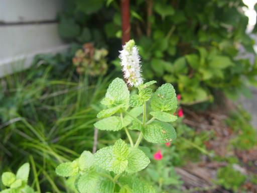 20140830・トトロ植物17・アップルミント