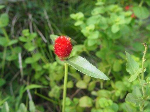 20140830・トトロ植物16・キバナセンニチコウ