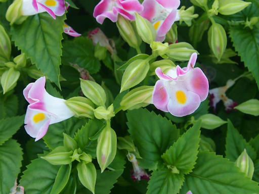 20140830・トトロ植物24・ハナウリクサ