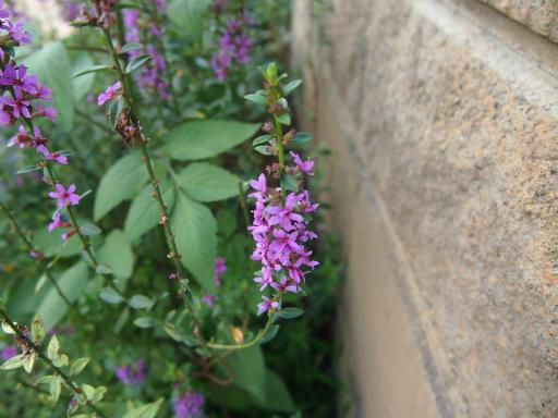 20140830・トトロ植物23・ミソハギ