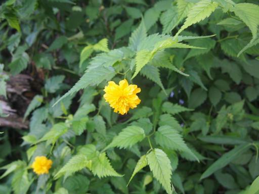 20140830・トトロ植物20・ヤマブキ