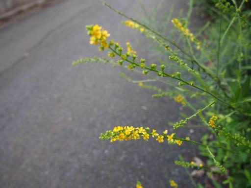 20140830・トトロ植物26・キンミズヒキ