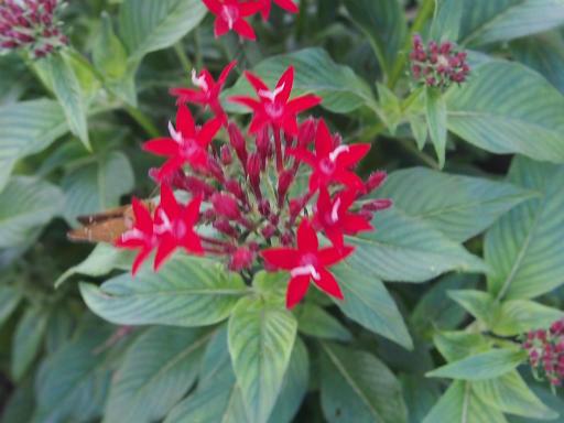 20140830・トトロ植物25・ペンタス