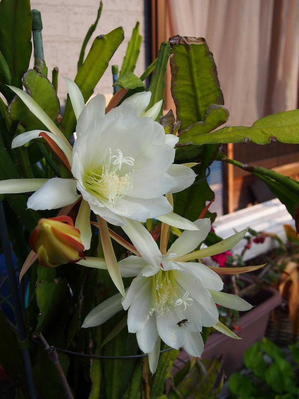 KujakuSaboten-White_20140620.jpg