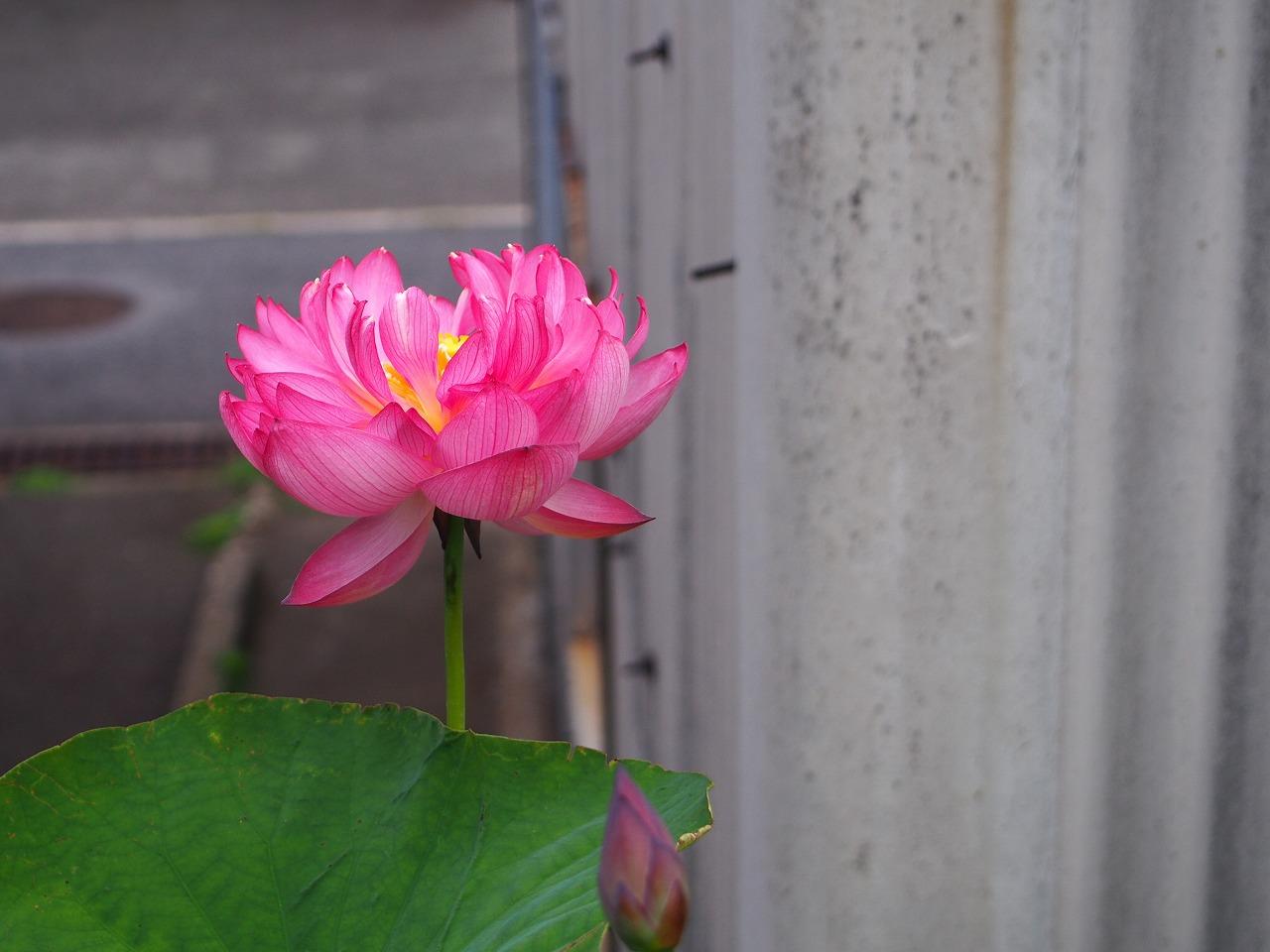 YaeChawanbasu_20140720-02.jpg